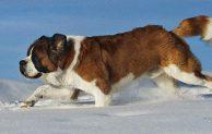 El perro de los Alpes